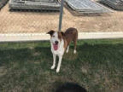 Adopt *LEILEAH a Brown/Chocolate - with White Collie / Mixed dog in Bakersfield
