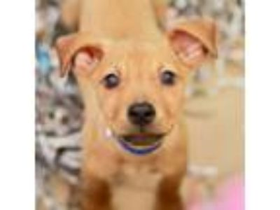 Adopt Will a Mixed Breed