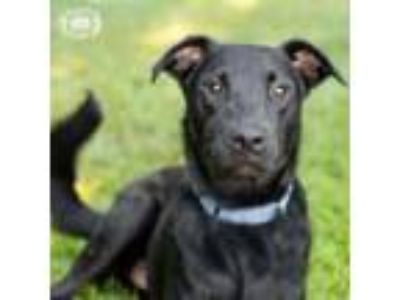 Adopt Atlas a Shepherd, Labrador Retriever