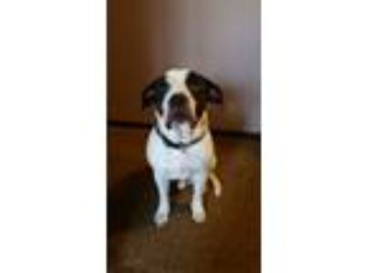 Adopt Bowser a White - with Black American Pit Bull Terrier / Mixed dog in