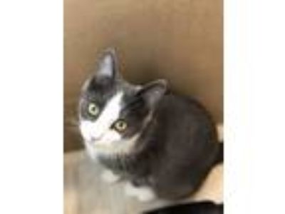 Adopt Cupcake a Gray or Blue (Mostly) Domestic Shorthair / Mixed cat in North