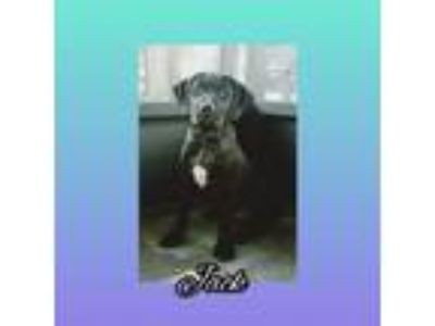 Adopt Jack a Labrador Retriever / Terrier (Unknown Type, Medium) / Mixed dog in