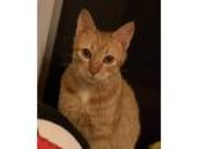 Adopt Fanta a Orange or Red Tabby Domestic Shorthair (short coat) cat in