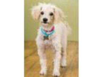 Adopt Lightning a White Poodle (Miniature) / Mixed dog in West Allis