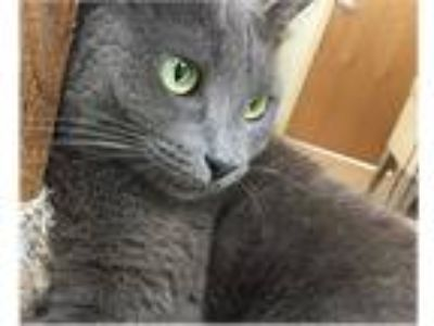 Adopt Sylvia a Gray or Blue Domestic Shorthair (short coat) cat in Milford