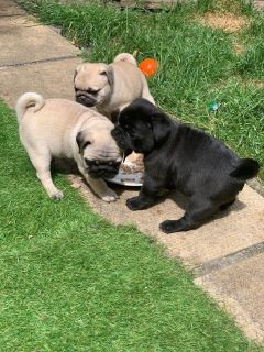 Stunning Kc Registered Pug Pups