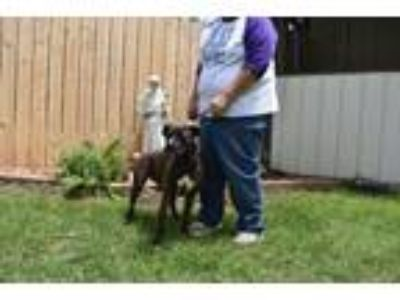 Adopt Storm a Boxer, Pit Bull Terrier