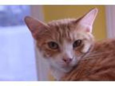 Adopt Sprite a Domestic Short Hair