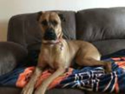 Adopt Dory a Brown/Chocolate Boxer / German Shepherd Dog dog in Mattoon