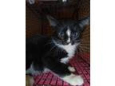 Adopt Ali a Domestic Shorthair / Mixed cat in Raleigh, NC (25770351)
