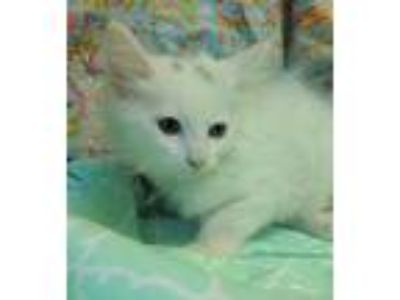 Adopt Snow White 30775 a White (Mostly) Domestic Mediumhair / Mixed (medium