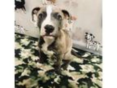 Adopt CARSEN a Brindle American Pit Bull Terrier / Mixed dog in wylie