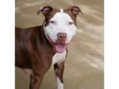 Adopt Sweet Pea a White American Pit Bull Terrier / Mixed dog in Chamblee