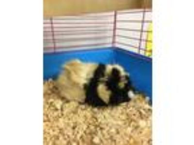Adopt Chester a White Guinea Pig / Guinea Pig / Mixed small animal in Erie