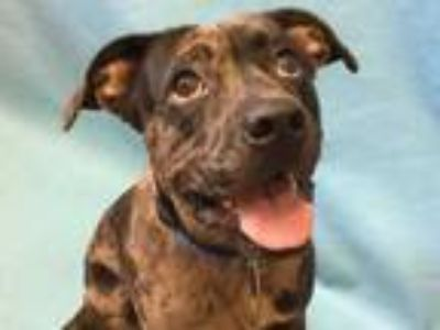 Adopt Coal a Black Boxer / Catahoula Leopard Dog / Mixed dog in Golden Valley