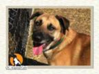 Adopt MUFASA a Anatolian Shepherd, Mixed Breed