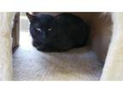 Adopt Javi a All Black Domestic Shorthair / Domestic Shorthair / Mixed cat in