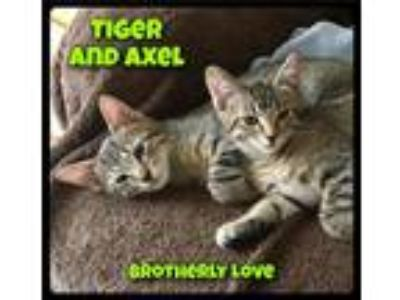 Adopt Axel - Foster / 2019 a Brown Tabby Domestic Shorthair / Mixed (short coat)