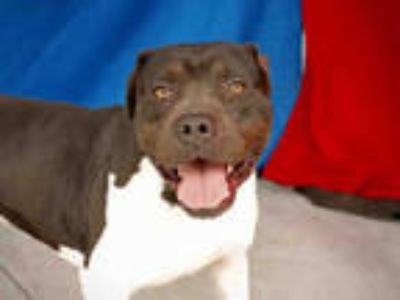 Adopt BRUNO a Black - with White American Pit Bull Terrier / Mixed dog in