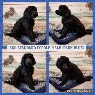 Poodle (Standard) PUPPY FOR SALE ADN-104352 - AKC BLACK STANDARD POODLE PUPS
