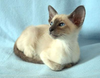Beautiful confident Siamese Kitten Ready Now For Sale
