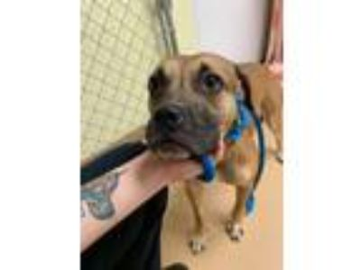 Adopt Cry Baby a Tan/Yellow/Fawn - with White Pit Bull Terrier / Mixed dog in