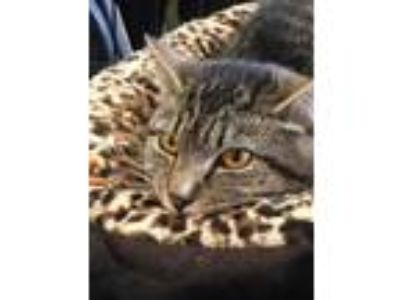 Adopt Maddie a Domestic Short Hair, Tabby