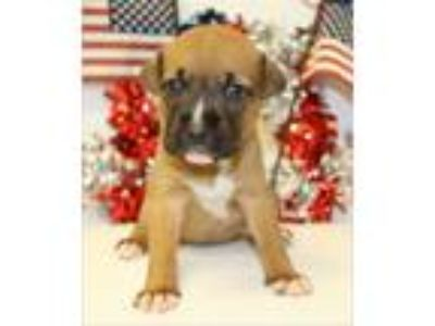 Adopt Liberty a German Shepherd Dog, Boxer