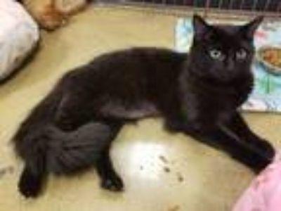 Adopt Nova a Domestic Mediumhair / Mixed cat in Smyrna, GA (25659542)