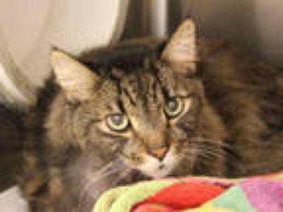 Adopt KITTY a Brown or Chocolate (Mostly) Maine Coon / Mixed (long coat) cat in