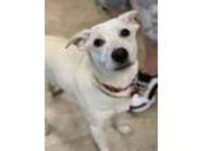 Adopt Scotty a Cattle Dog, Mixed Breed