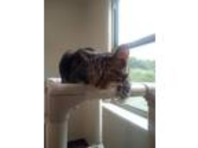 Adopt Gatsby a Brown Tabby Domestic Shorthair / Mixed (short coat) cat in