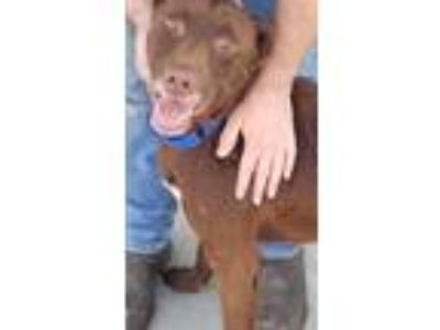 Adopt Brownie a Brown/Chocolate Labrador Retriever / Mixed dog in Knoxville