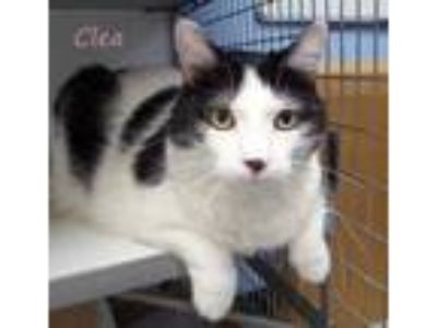 Adopt Clea a White Domestic Shorthair / Domestic Shorthair / Mixed cat in Kansas