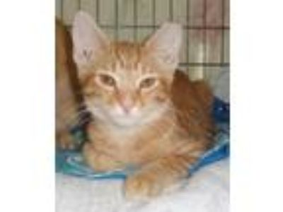 Adopt Cheddar a Orange or Red Tabby Domestic Shorthair (short coat) cat in