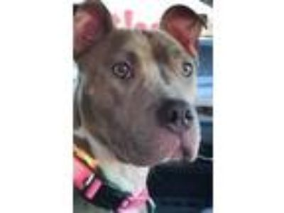 Adopt Bianca a Pit Bull Terrier