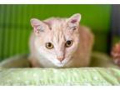 Adopt Frigg a Domestic Short Hair