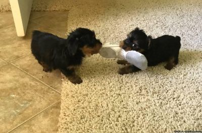 AKC YORKIE PUPPIES AVAILABLE