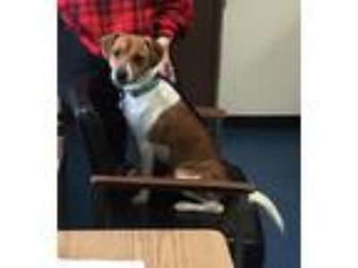Adopt Duke a White - with Brown or Chocolate Jack Russell Terrier / Mixed dog in