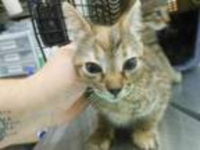 Adopt Fawn a Orange or Red Domestic Mediumhair / Domestic Shorthair / Mixed cat