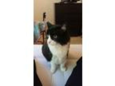 Adopt Scooter and Kira a Black & White or Tuxedo Domestic Mediumhair / Mixed