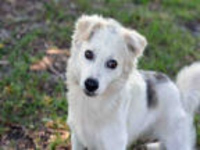 Adopt CHARLIE a White American Eskimo Dog / Mixed dog in Fort Lauderdale