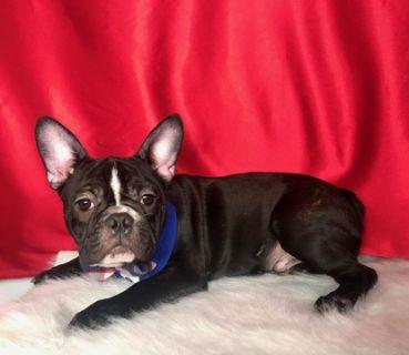 French Bulldog PUPPY FOR SALE ADN-118802 - FRENCH BULLDOG MALE