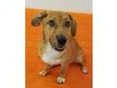 Adopt Lilly a Brown/Chocolate Catahoula Leopard Dog / Mixed dog in Philadelphia