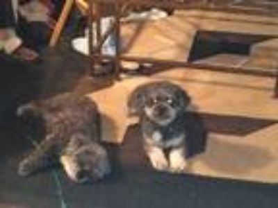 Adopt Cocoa a Gray/Silver/Salt & Pepper - with White Poodle (Miniature) / Poodle