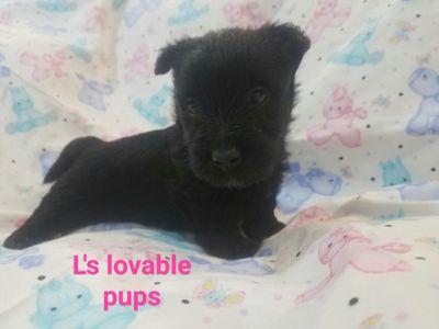 Scottish Terrier PUPPY FOR SALE ADN-75389 - Akc limited female scottie