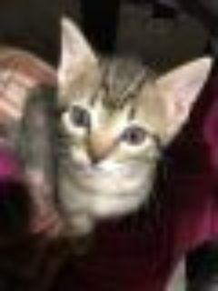 Ricotta Domestic Short Hair Cat