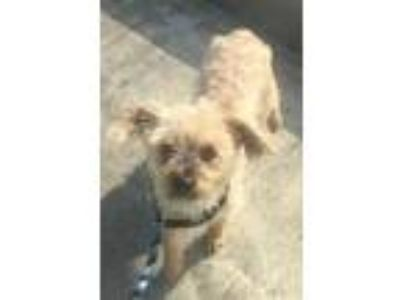 Adopt Max a Shih Tzu, Yorkshire Terrier