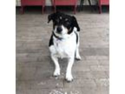Adopt Sweetie a Jack Russell Terrier