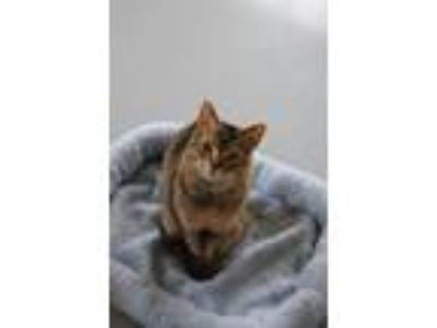 Adopt CJ a Domestic Short Hair